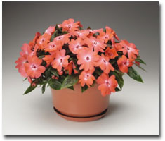 Impatiens New-Guinea