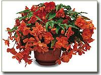 Begonia tuberosa - csüngő gumós begónia