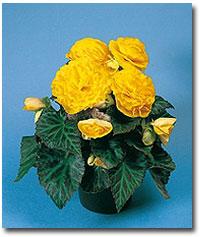 Begonia tuberosa - álló gumós begónia