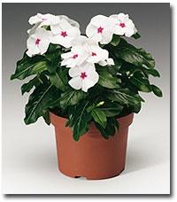 Catharanthus (Vinca)